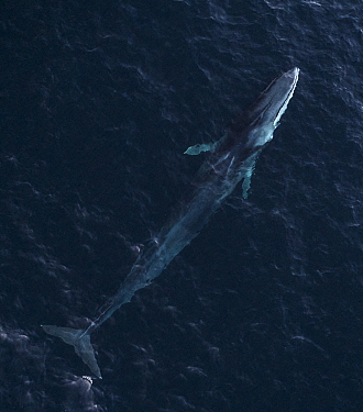 Aerial view of Fin whale (Balaenoptera physalus) Troms, Norway. November