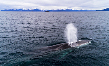Aerial view of Fin whale (Balaenoptera physalus) Norway. November