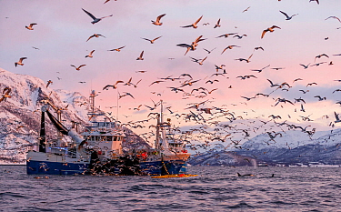 Herring boat with net full of Herring (Clupea harengus) with large flock of gulls flying nearby, Norway. November 2018.