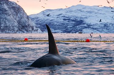 Killer whales / orcas (Orcinus orca) feeding around net full of herring, Norway. November 2018.