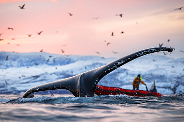 Humpback whales (Megaptera novaeangliae) with gulls feeding on herring, and nearby ridgid inflatable boat, Norway. November 2018.