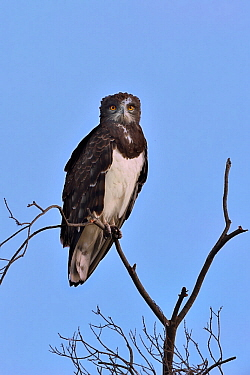 Black-Chested Harrier Eagle (Circaetus pectoralis) on a branch, Masai mara, Kenya. March.
