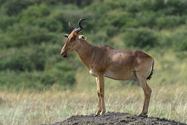 Coke's Hartebeest (Alcelaphus buselaphus) standing on a mound, Masai Mara, Kenya. March.