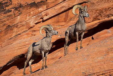 Desert bighorn sheep (Ovis canadensis nelsoni) rams on steep sandstone wall. Valley of Fire State Park, Nevada, USA. February.