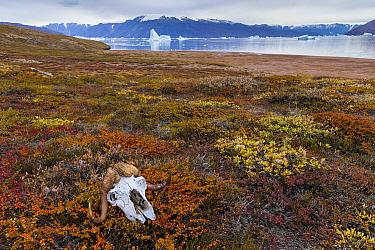 Muskox skull on autumn tundra, in Hare Fjord, Scoresby Sund, Greenland, August.