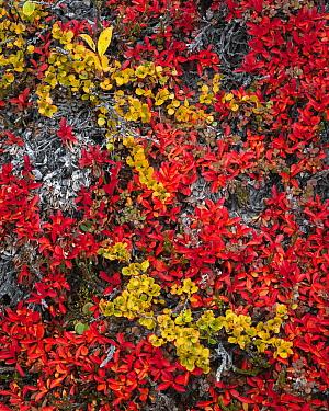 Tundra plants in autumn with Dwarf birch (Dwarf birch) and Bearberry (Arctostaphylos), Rypefjord (Ptarmigan Fjord), Scoresby Sund, Greenland, August.