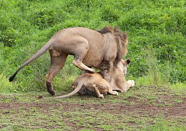 Lion (Panthera leo) ready to mount female, Ngorongoro Crater, Tanzania.