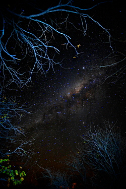 View of the night sky looking up through trees, with stars and the Milky Way, Mopani, Kruger National Park, Transvaal, South Africa, September.