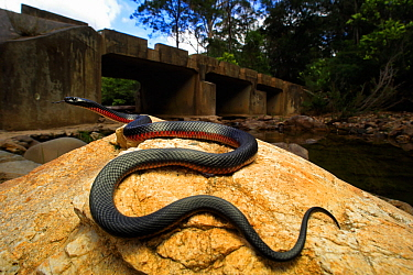 Red-bellied Blacksnake (Pseudechis porphyriacus) female, upper Pambula River, NSW, Australia, spring. Controlled conditions