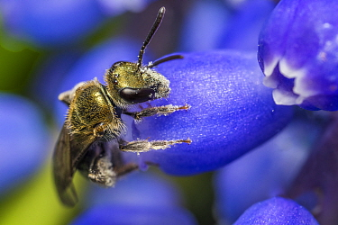 Smeathman's furrow bee (Lasioglossum smeathmanellum) visiting Grape hyacinth (Muscari sp.). At 4.5 mm average size, this is one of the smallest bees in the UK, small enough to crawl inside a Grape...