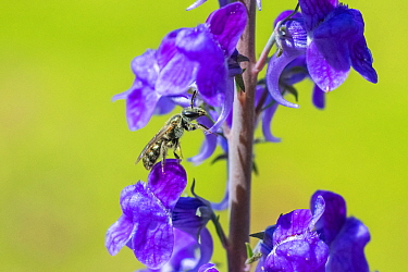 Smeathman's furrow bee (Lasioglossum smeathmanellum) visiting Purple Toadflax (Linaria purpurea). At 4.5 mm average size, this is one of the smallest bees in the UK, Monmouthshire Wales, July.