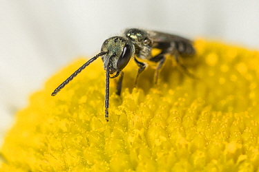 Smeathman's Furrow Bee (Lasioglossum smeathmanellum) visiting Oxeye Daisy (Leucanthemum vulgare) feeding and pollinating florettes. At 4.5 mm average size, this is one of the smallest bees in the...