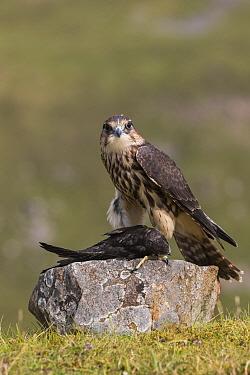 Merlin (Falco columbarius) with Swift (Apus apus) prey , Cumbria, UK, captive. July