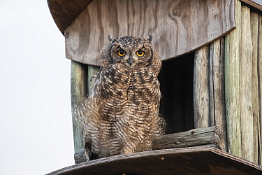 Spotted eagle owl (Bubo africanus) at nest box, Paternoster, Western Cape, South Africa.