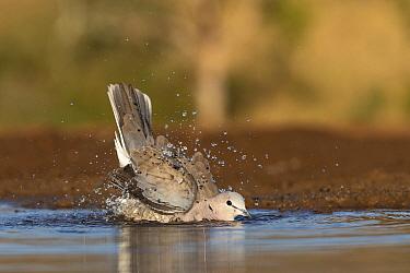 Cape turtle dove (Streptopilia capicola) bathing, Zimanga private game reserve, KwaZulu-Natal, South Africa.
