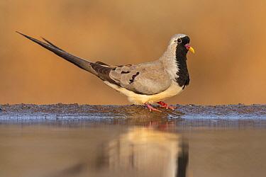 Namaqua dove (Oena capensis) at water, Zimanga private game reserve, KwaZulu-Natal, South Africa.