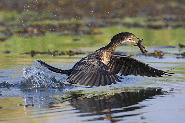 Reed cormorant (Microcarbo africanus) flying from water with fish, Chobe river, Botswana.