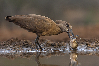 Hamerkop (Scopus umbretta) eating frog, Zimanga private game reserve, KwaZulu-Natal, South Africa.