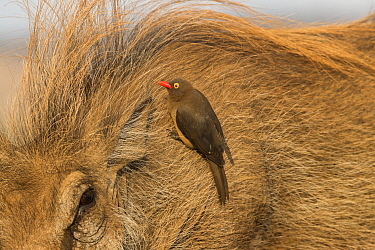 Redbilled oxpecker (Buphagus erythrorhynchus) searching for insects on Warthog (Phacochoerus africanus), Zimanga game reserve, KwaZulu-Natal, South Africa.