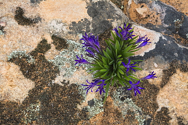 Babiana sp, Cederberg mountains, Western Cape, South Africa.