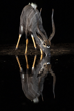 Nyala (Tragelaphus angasii) male at water at night, Zimanga private game reserve, KwaZulu-Natal, South Africa.