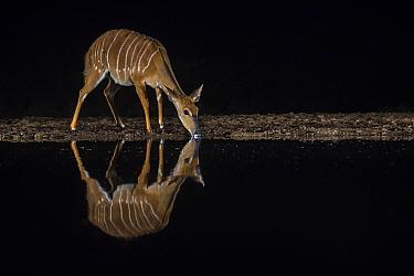 Nyala (Tragelaphus angasii) female at water at night, Zimanga private game reserve, KwaZulu-Natal, South Africa.