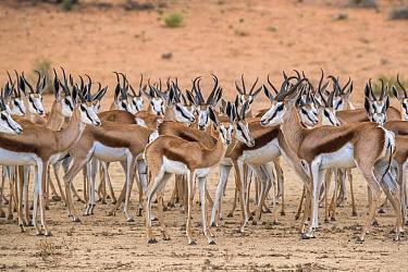 Springbok (Antidorcas marsupialis) herd in the rain, Kgalagadi transfrontier park, South Africa.