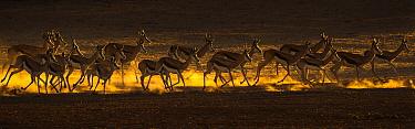 Springbok (Antidorcas marsupialis) herd on the move, Kgalagadi transfrontier park, South Africa.