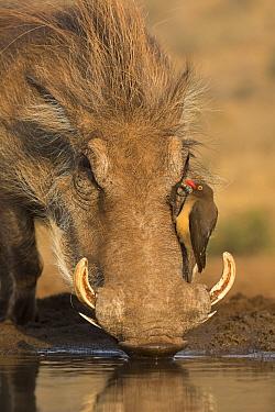 Warthog (Phacochoerus africanus) drinking, with redbilled oxpeckers (Buphagus erythrorhynchus), Zimanga game reserve, KwaZulu-Natal, South Africa.