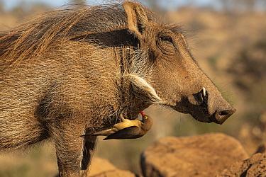 Warthog (Phacochoerus africanus) with Redbilled oxpecker (Buphagus erythrorhynchus), Zimanga game reserve, KwaZulu-Natal, South Africa.
