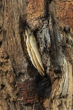 Old honeycomb on baobab (Adansonia digitata), Chobe National Park, Botswana.