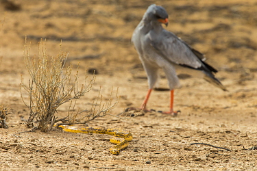 Cape cobra (Naja nivea) followed by pale chanting goshawk (Melierax canorus), Kgalagadi transfrontier park, South Africa.
