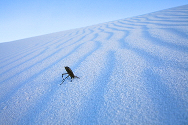 Darkling Beetle (Tenebrionidae) on sand in White Sands National Park, New Mexico, USA, April.