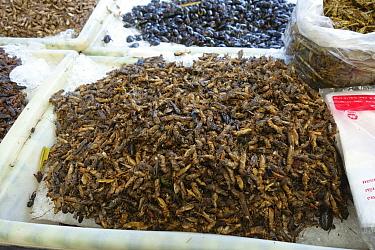 Edible cricket (Acheta domestica), many on stall at food market. Bangkok, Thailand.