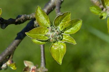 Apple (Malus domestica) flower buds and fresh green leaves following bud burst, Berkshire, England, UK. April.