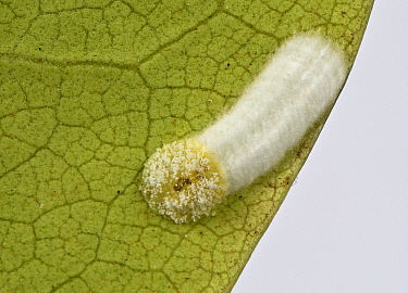 Cushion scale insect (Pulvinaria floccifera) laying eggs on underside of cultivated Rhododendron (Rhododendron sp) leaf. In garden, Berkshire, England, UK. June.