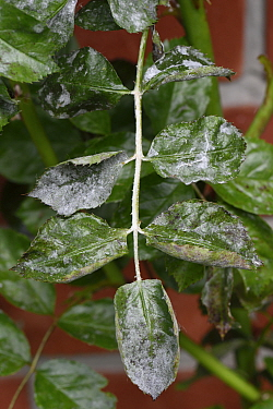 Powdery mildew (Podosphaera pannosa) on Rose (Rosa sp) leaves. Cultivated in garden, Berkshire, England, UK. June.