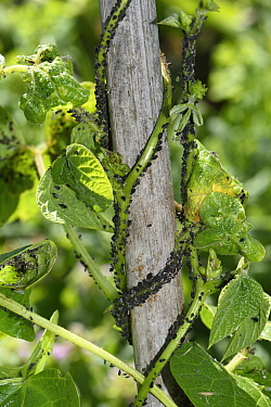Black bean aphid (Aphis fabae) infestation on Runner bean (Phaseolus coccineus), stem twining up bamboo cane. Berkshire, England, UK. June.