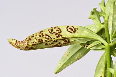 Antirrhinum rust (Puccinia antirrhini) with pustules on underside of Snapdragon (Antirrhinum sp) leaf. Cultivated in garden, Berkshire, England, UK. August.