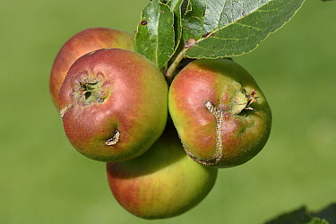Apple (Malus domestica) fruits with damage scars caused by European apple sawfly (Holocampa testudinea) feeding early in fruit development. Berkshire, England, UK. August.