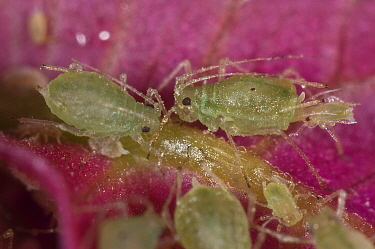 Foxglove aphid (Aulacorthum solani) infestation on Bougainvillea (Bougainvillea sp) flower in conservatory, UK. August.