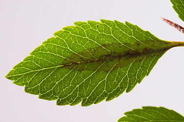 Firethorn leaf miner (Phyllonorycter leucographella) mine, damage to Firethorn (Pyracantha sp) leaf. Berkshire, England, UK. September.