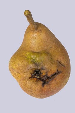Doyenne du Comice pear (Pyrus communis) fruit with deformity caused by Pear stony pit virus. Berkshire, England, UK.