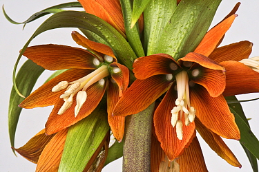 Crown imperial (Fritillaria imperialis) flower head, close up.