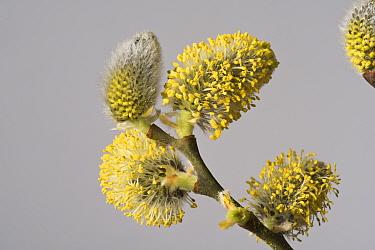 Goat willow (Salix caprea) male catkins. Kennett and Avon Canal, Berkshire, England, UK. April.