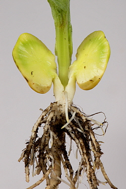 Broad bean (Vicia faba), close up of roots and cross section of germinated seed to show food reserve.