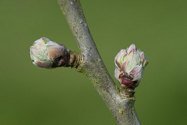 Apple (Malus domestica) buds swelling prior to leaves and flowers emerging in spring. Berkshire, England, UK. April.