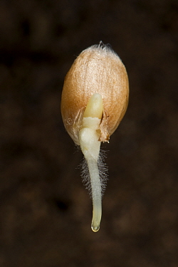 Winter wheat (Triticum aestivum) seed germinating with radicle, root hairs and coleoptile growth.