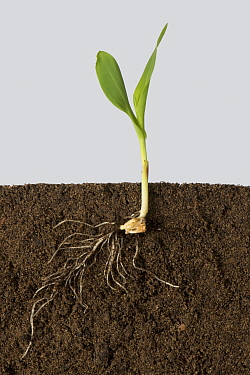 Maize (Zea mays) seedling with roots and early leaves, above and below ground.