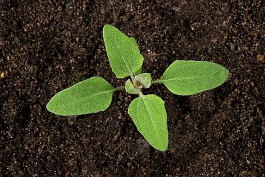 Fat-hen (Chenopodium album) seedling with cotyledons and four true leaves, annual arable weed.
